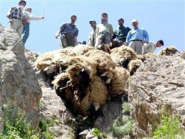 Fallen sheep